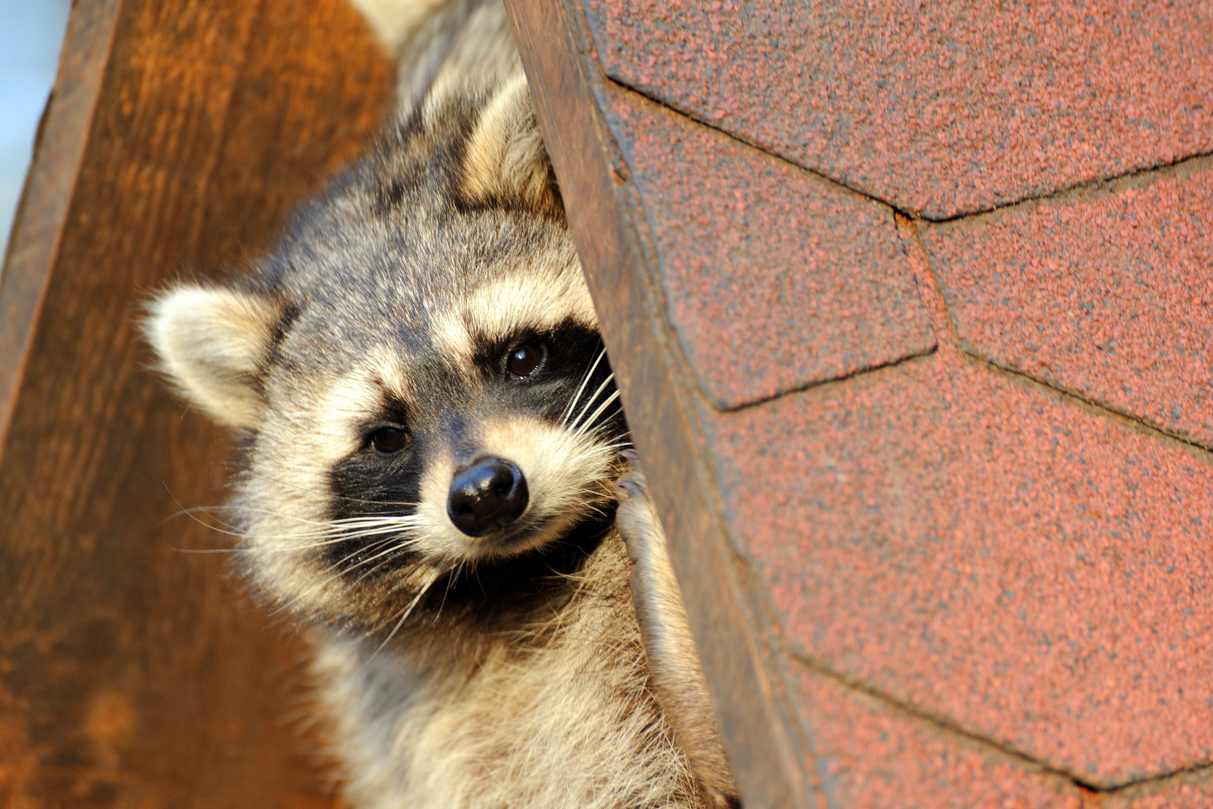 A racoon hiding on a house roof